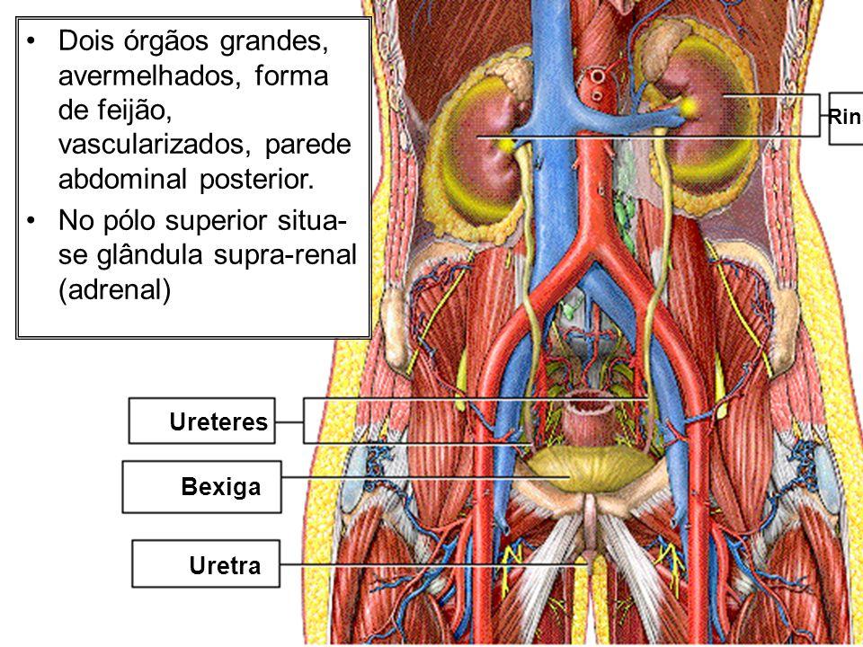 Rins Ureteres Bexiga Uretra Dois órgãos grandes, avermelhados, forma de feijão, vascularizados, parede abdominal posterior. No pólo superior situa- se