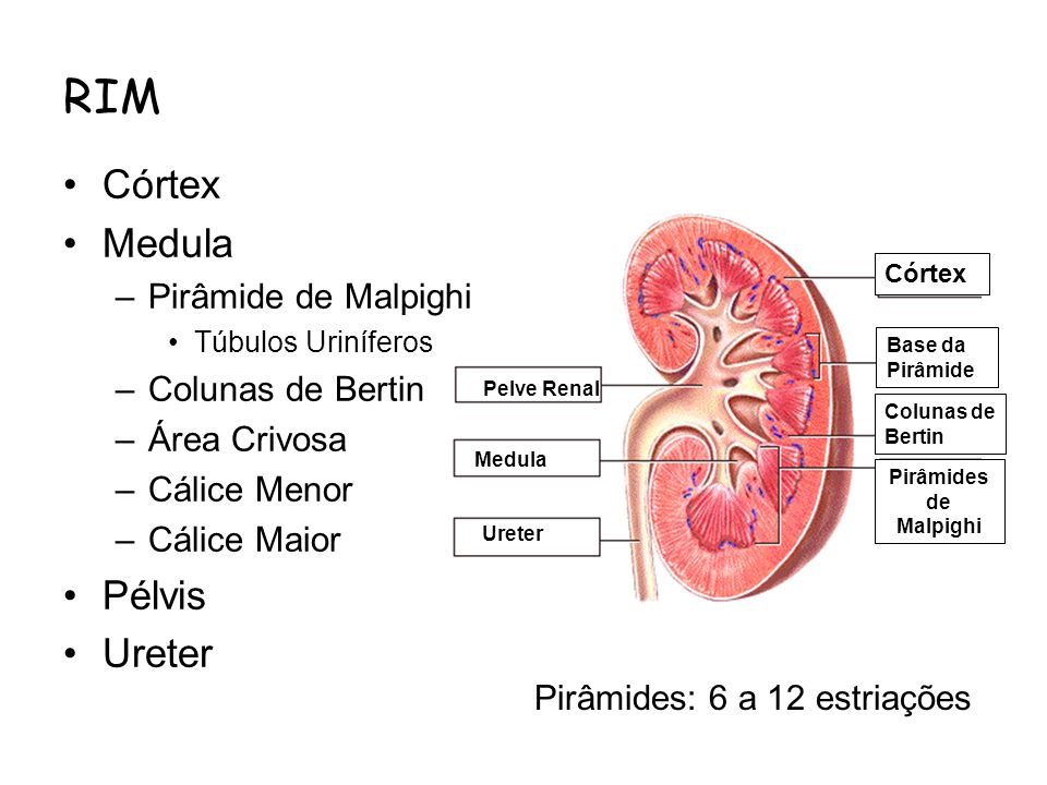 Pirâmides de Malpighi Pelve Renal Ureter Base da Pirâmide Medula Córtex Colunas de Bertin RIM Córtex Medula –Pirâmide de Malpighi Túbulos Uriníferos –