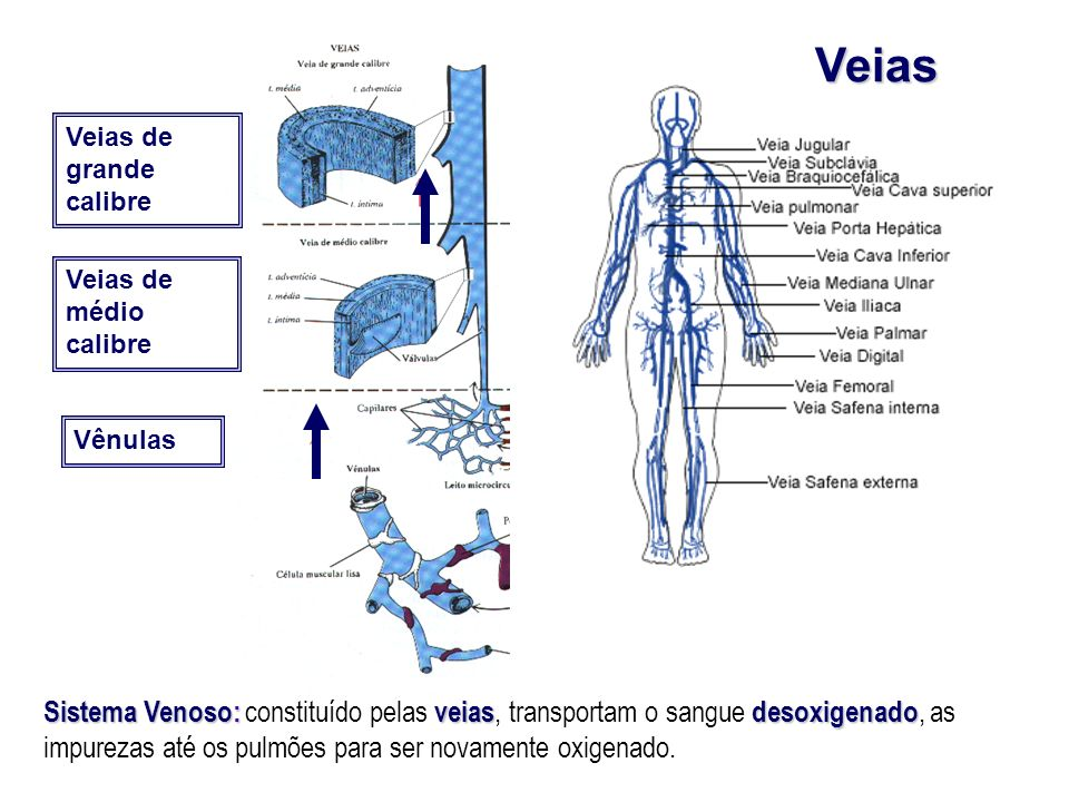 Veias Veias de grande calibre Veias de médio calibre Vênulas Sistema Venoso: veiasdesoxigenado Sistema Venoso: constituído pelas veias, transportam o
