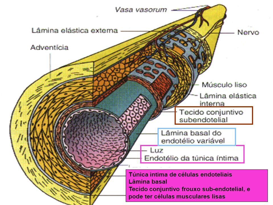 Túnica intima de células endoteliais Lâmina basal Tecido conjuntivo frouxo sub-endotelial, e pode ter células musculares lisas