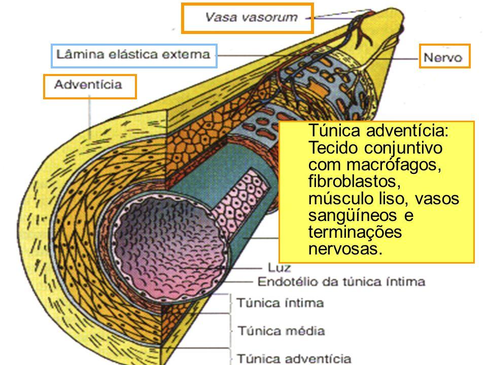 Túnica adventícia: Tecido conjuntivo com macrófagos, fibroblastos, músculo liso, vasos sangüíneos e terminações nervosas.