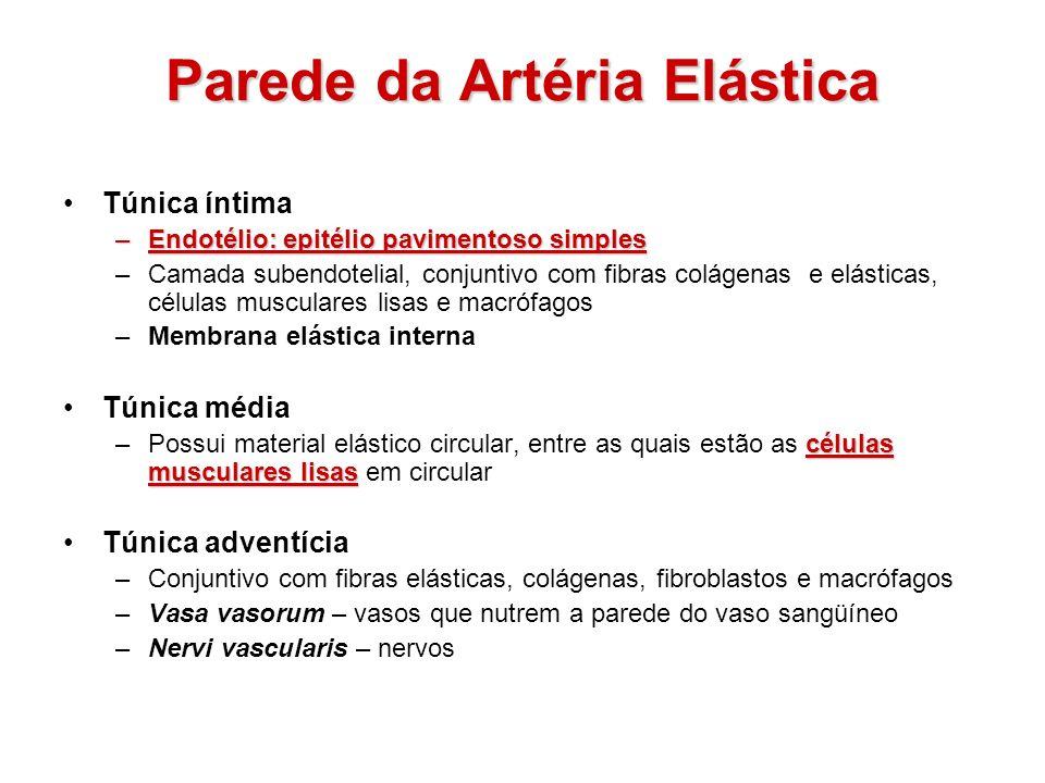 Parede da Artéria Elástica Túnica íntima –Endotélio: epitélio pavimentoso simples –Camada subendotelial, conjuntivo com fibras colágenas e elásticas,