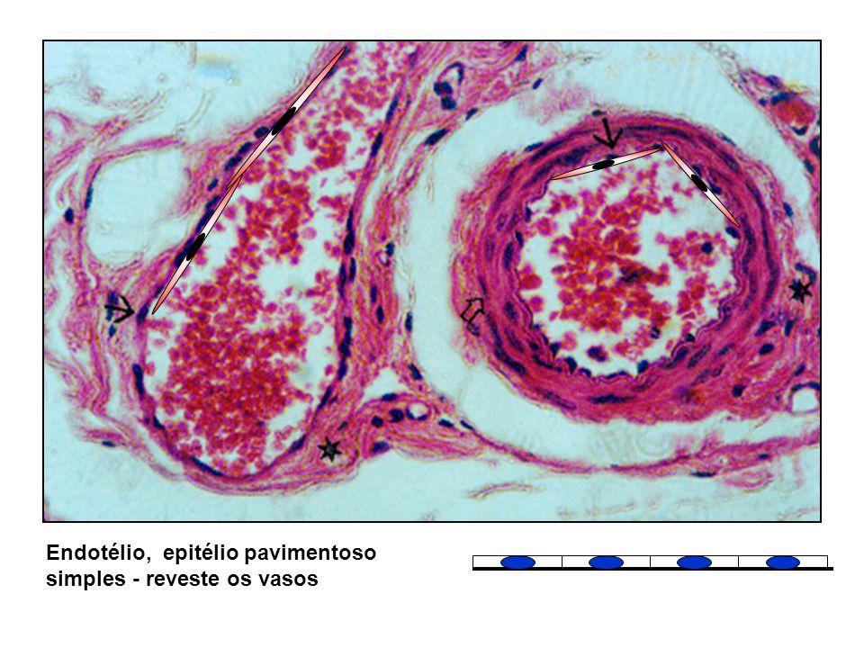 Endotélio, epitélio pavimentoso simples - reveste os vasos