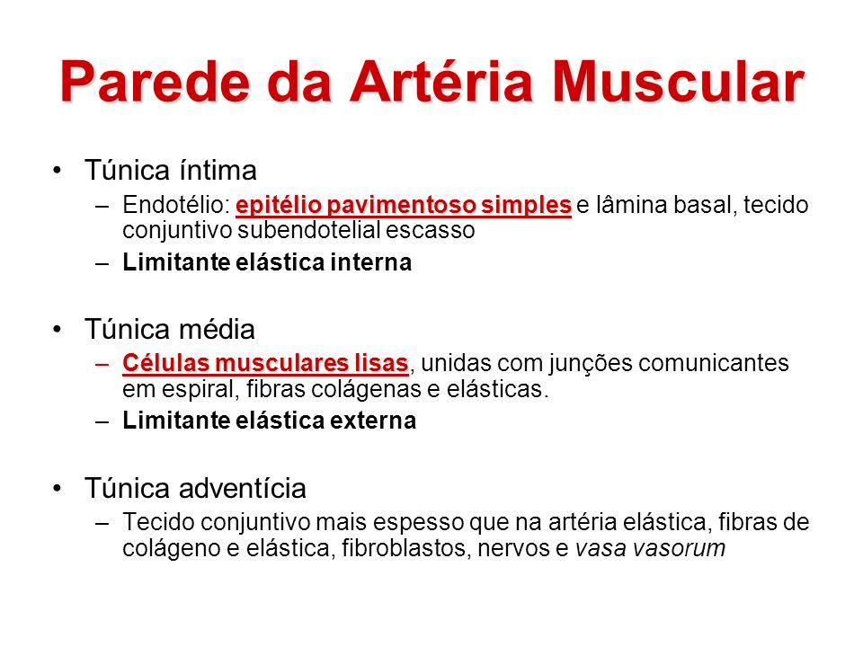 Parede da Artéria Muscular Túnica íntima epitélio pavimentoso simples –Endotélio: epitélio pavimentoso simples e lâmina basal, tecido conjuntivo suben