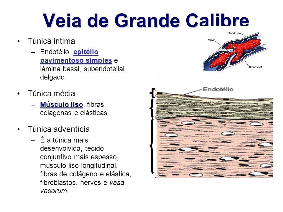 Veia de Grande Calibre Túnica íntima epitélio pavimentoso simples –Endotélio, epitélio pavimentoso simples e lâmina basal, subendotelial delgado Túnic