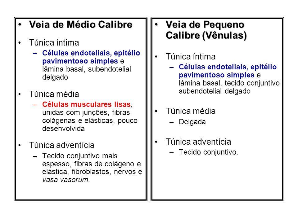 Veia de Médio CalibreVeia de Médio Calibre Túnica íntima –Células endoteliais, epitélio pavimentoso simples e lâmina basal, subendotelial delgado Túni