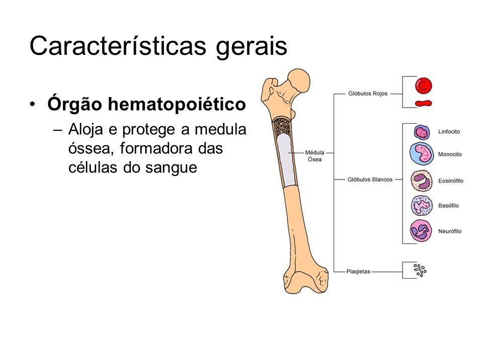 Órgão hematopoiético –Aloja e protege a medula óssea, formadora das células do sangue