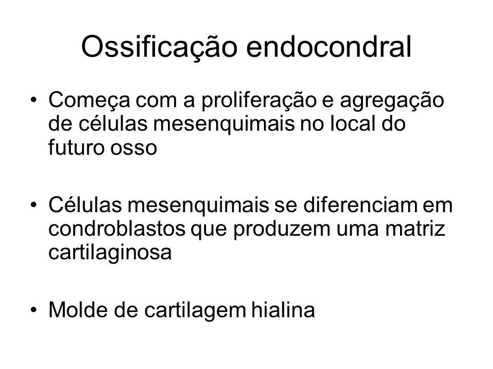 Ossificação endocondral Começa com a proliferação e agregação de células mesenquimais no local do futuro osso Células mesenquimais se diferenciam em c