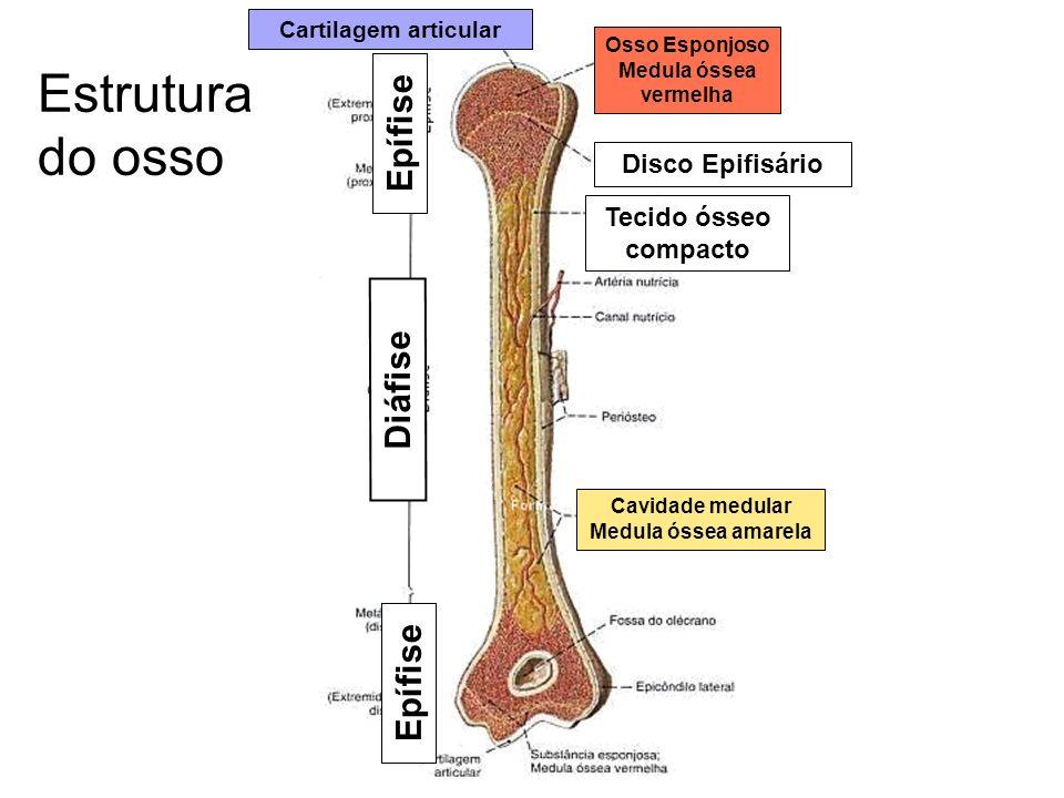 Estrutura do osso Osso Esponjoso Medula óssea vermelha Cavidade medular Medula óssea amarela Diáfise Epífise Disco Epifisário Cartilagem articular Tec