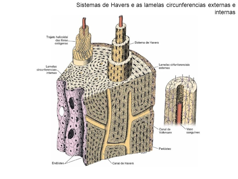 Sistemas de Havers e as lamelas circunferencias externas e internas