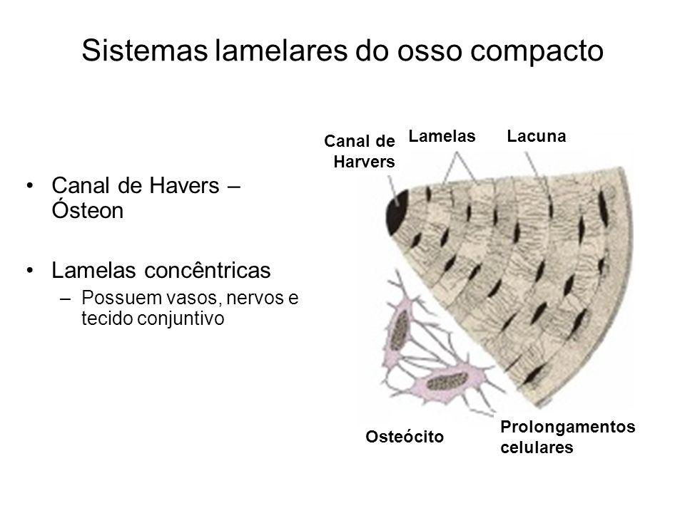 Sistemas lamelares do osso compacto Canal de Havers – Ósteon Lamelas concêntricas –Possuem vasos, nervos e tecido conjuntivo Prolongamentos celulares