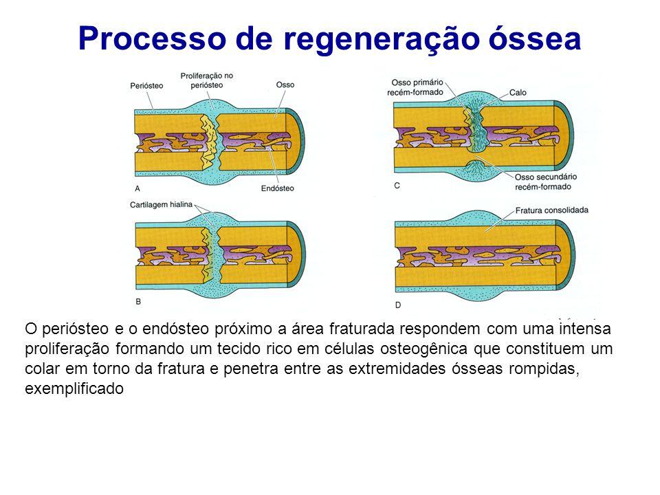 Processo de regeneração óssea O periósteo e o endósteo próximo a área fraturada respondem com uma intensa proliferação formando um tecido rico em célu