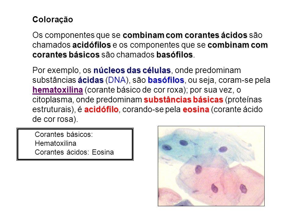 Coloração combinam com corantes ácidos acidófiloscombinam com corantes básicosbasófilos Os componentes que se combinam com corantes ácidos são chamados acidófilos e os componentes que se combinam com corantes básicos são chamados basófilos.