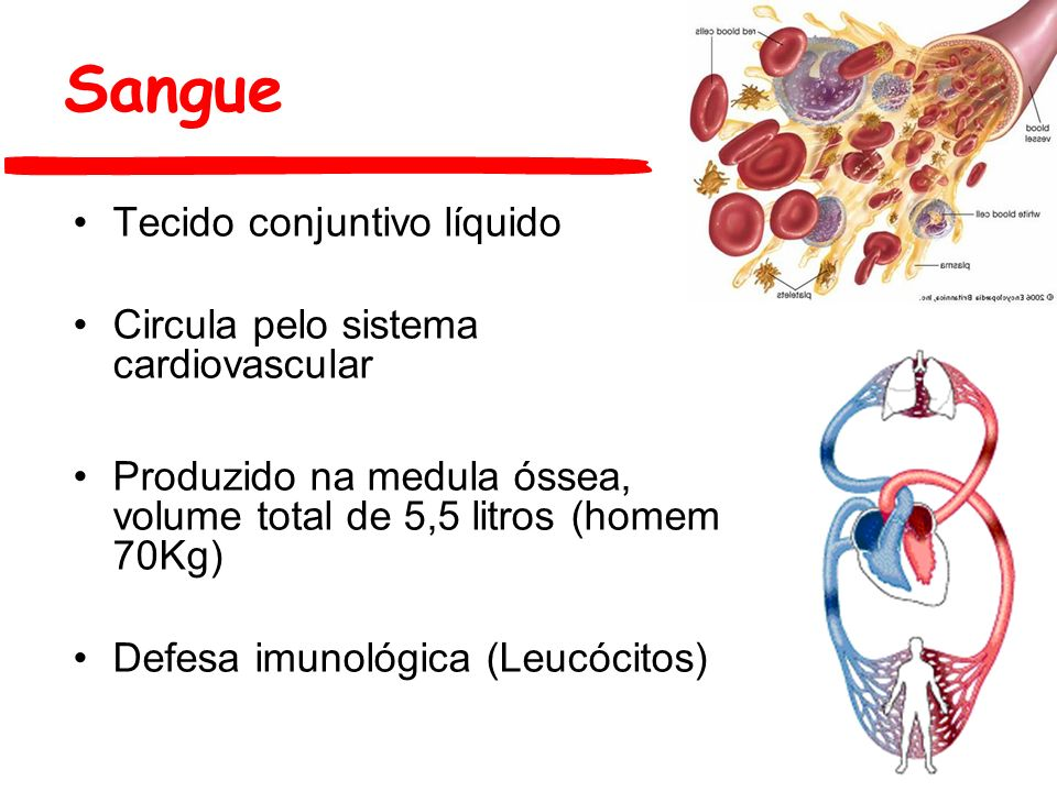Sangue Tecido conjuntivo líquido Circula pelo sistema cardiovascular Produzido na medula óssea, volume total de 5,5 litros (homem 70Kg) Defesa imunoló