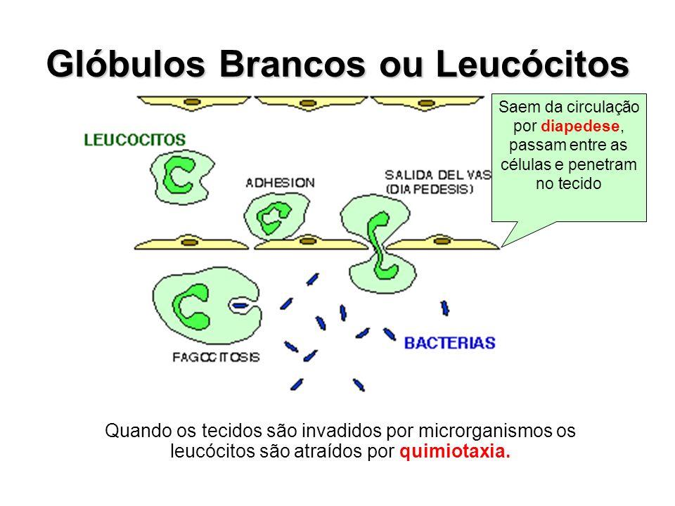Glóbulos Brancos ou Leucócitos Saem da circulação por diapedese, passam entre as células e penetram no tecido Quando os tecidos são invadidos por micr