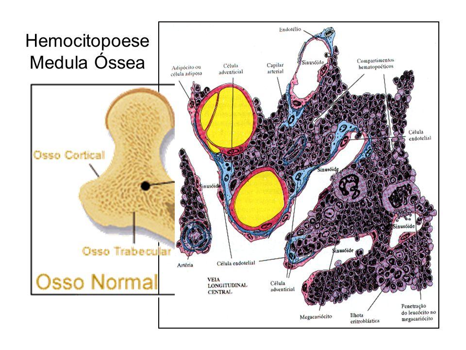 Hemocitopoese Medula Óssea