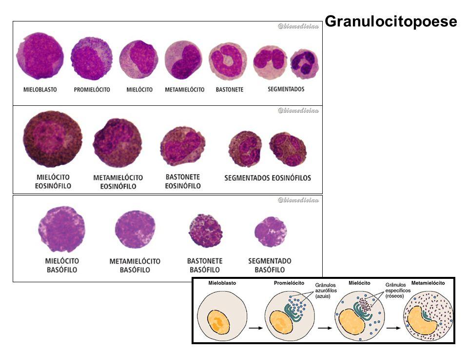 Granulocitopoese