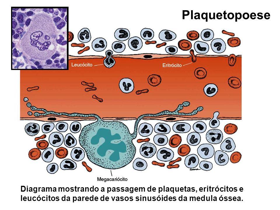 Diagrama mostrando a passagem de plaquetas, eritrócitos e leucócitos da parede de vasos sinusóides da medula óssea. Plaquetopoese