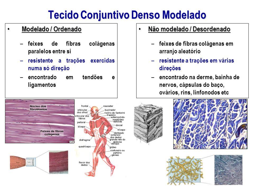 Tecido Conjuntivo Denso Modelado Modelado / Ordenado Modelado / Ordenado – feixes de fibras colágenas paralelos entre si – resistente a trações exerci