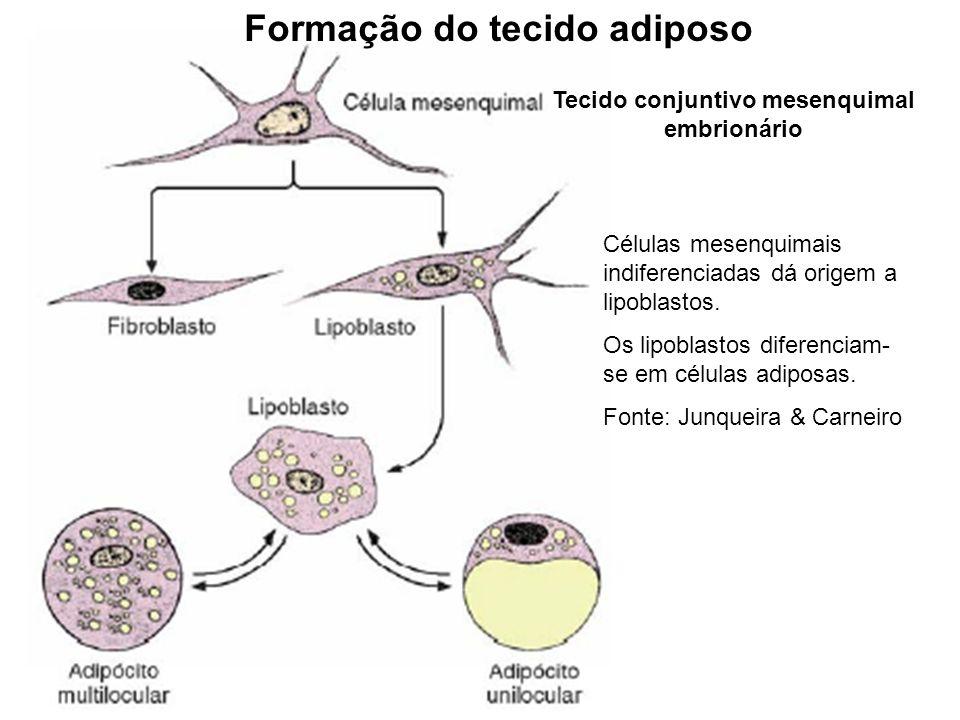 Células mesenquimais indiferenciadas dá origem a lipoblastos. Os lipoblastos diferenciam- se em células adiposas. Fonte: Junqueira & Carneiro Formação