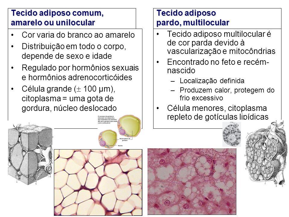 Tecido adiposo comum, amarelo ou unilocular Cor varia do branco ao amarelo Distribuição em todo o corpo, depende de sexo e idade Regulado por hormônio