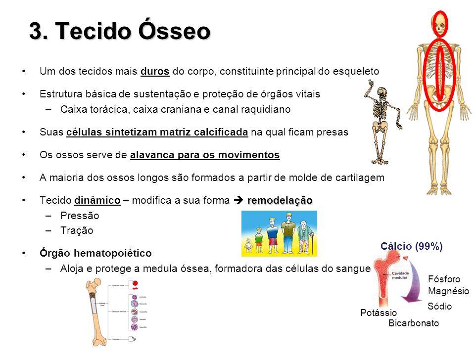 3. Tecido Ósseo Um dos tecidos mais duros do corpo, constituinte principal do esqueleto Estrutura básica de sustentação e proteção de órgãos vitais –C
