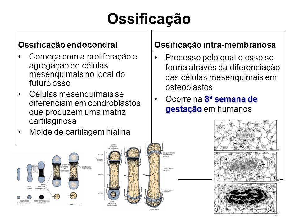 Ossificação Ossificação endocondral Começa com a proliferação e agregação de células mesenquimais no local do futuro osso Células mesenquimais se dife
