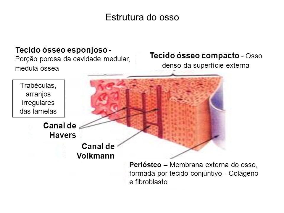 Estrutura do osso Periósteo – Membrana externa do osso, formada por tecido conjuntivo - Colágeno e fibroblasto Canal de Volkmann Canal de Havers Tecid