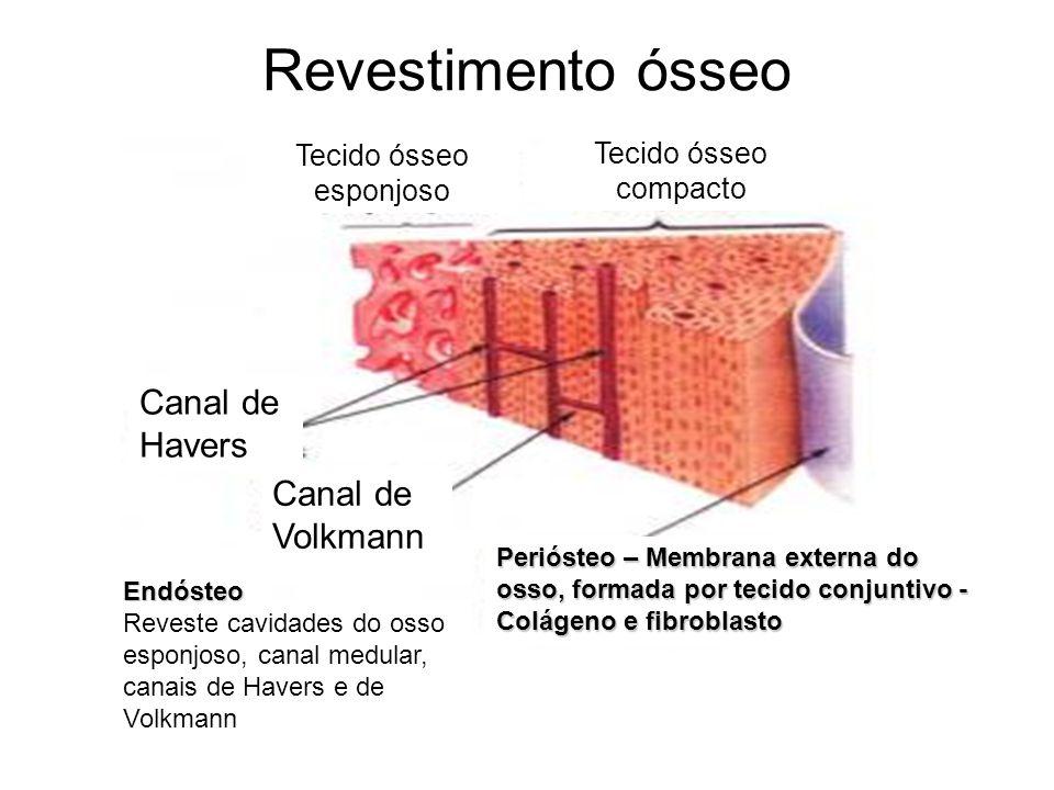 Revestimento ósseo Periósteo – Membrana externa do osso, formada por tecido conjuntivo - Colágeno e fibroblasto Endósteo Reveste cavidades do osso esp