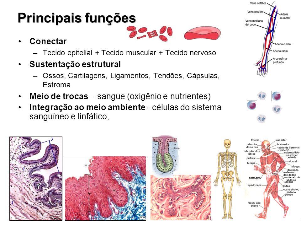 Principais funções Conectar –Tecido epitelial + Tecido muscular + Tecido nervoso Sustentação estrutural –Ossos, Cartilagens, Ligamentos, Tendões, Cáps