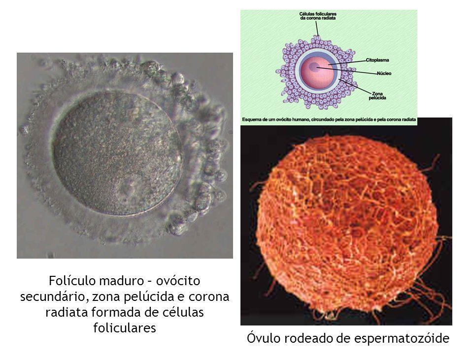Óvulo rodeado de espermatozóide Folículo maduro – ovócito secundário, zona pelúcida e corona radiata formada de células foliculares