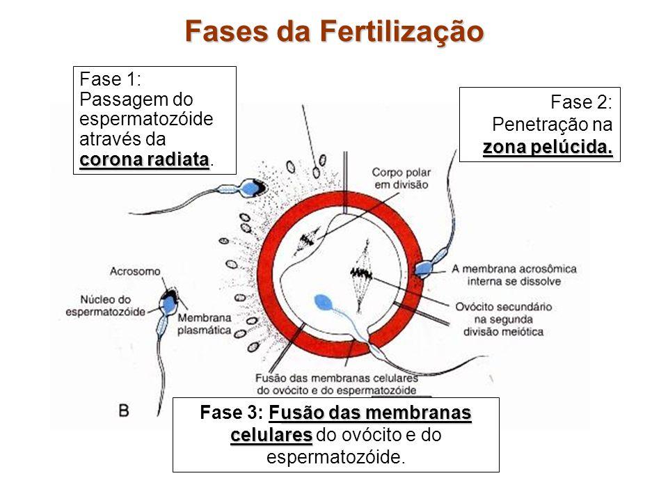 Fases da Fertilização corona radiata Fase 1: Passagem do espermatozóide através da corona radiata. zona pelúcida. Fase 2: Penetração na zona pelúcida.