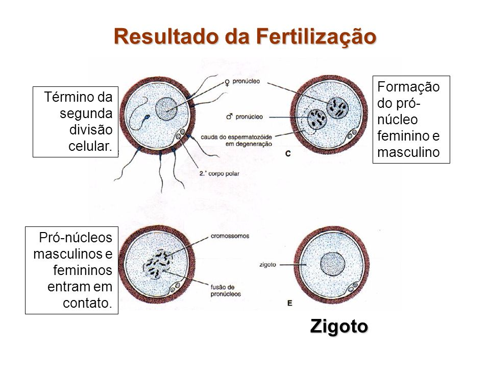 Resultado da Fertilização Término da segunda divisão celular. Formação do pró- núcleo feminino e masculino Pró-núcleos masculinos e femininos entram e