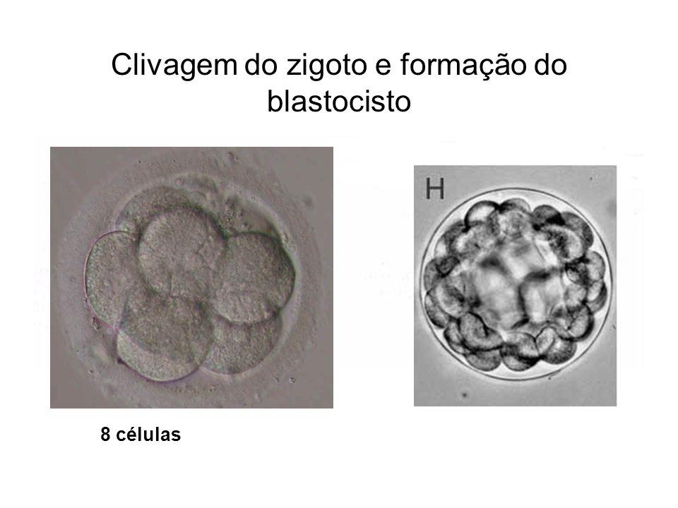 Clivagem do zigoto e formação do blastocisto 8 células