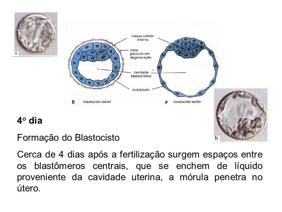 4 o dia Formação do Blastocisto Cerca de 4 dias após a fertilização surgem espaços entre os blastômeros centrais, que se enchem de líquido proveniente