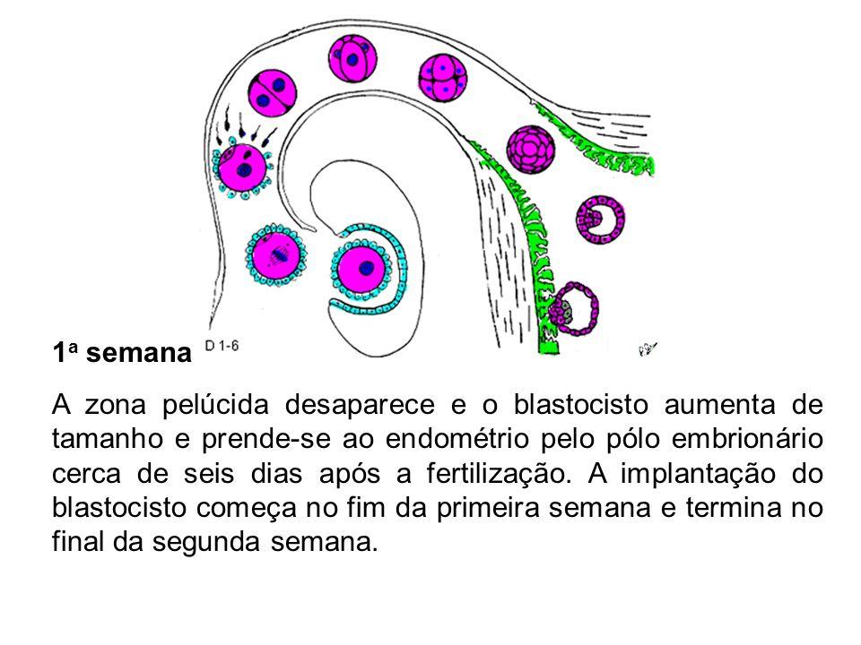 1 a semana A zona pelúcida desaparece e o blastocisto aumenta de tamanho e prende-se ao endométrio pelo pólo embrionário cerca de seis dias após a fer