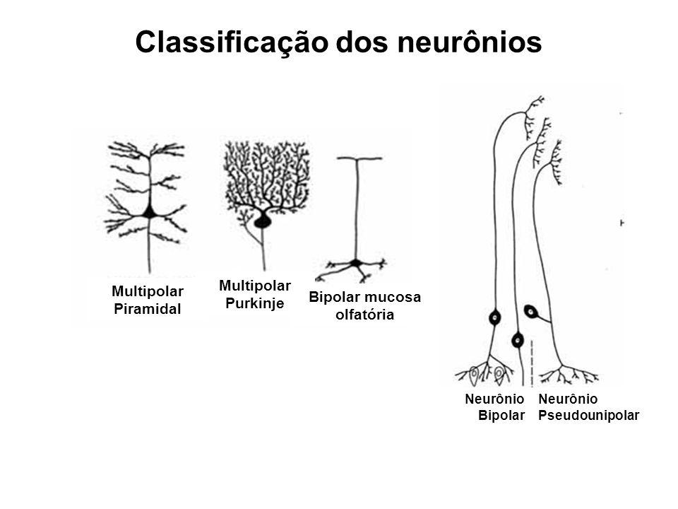 Classificação dos neurônios Multipolar Purkinje Multipolar Piramidal Bipolar mucosa olfatória Neurônio Bipolar Neurônio Pseudounipolar