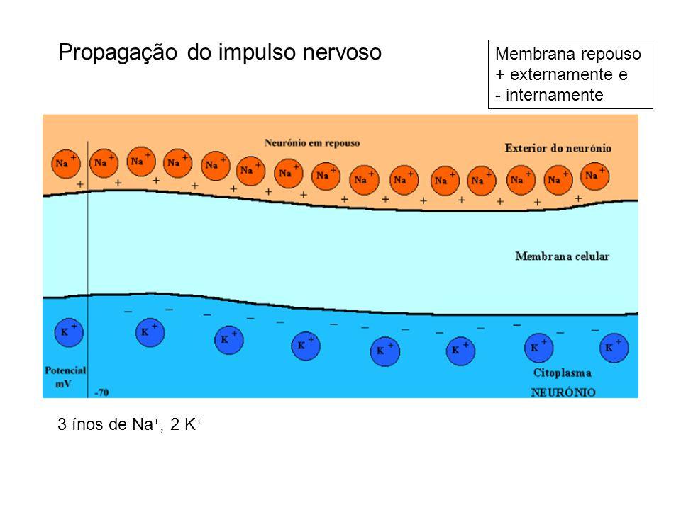 Membrana repouso + externamente e - internamente 3 ínos de Na +, 2 K +