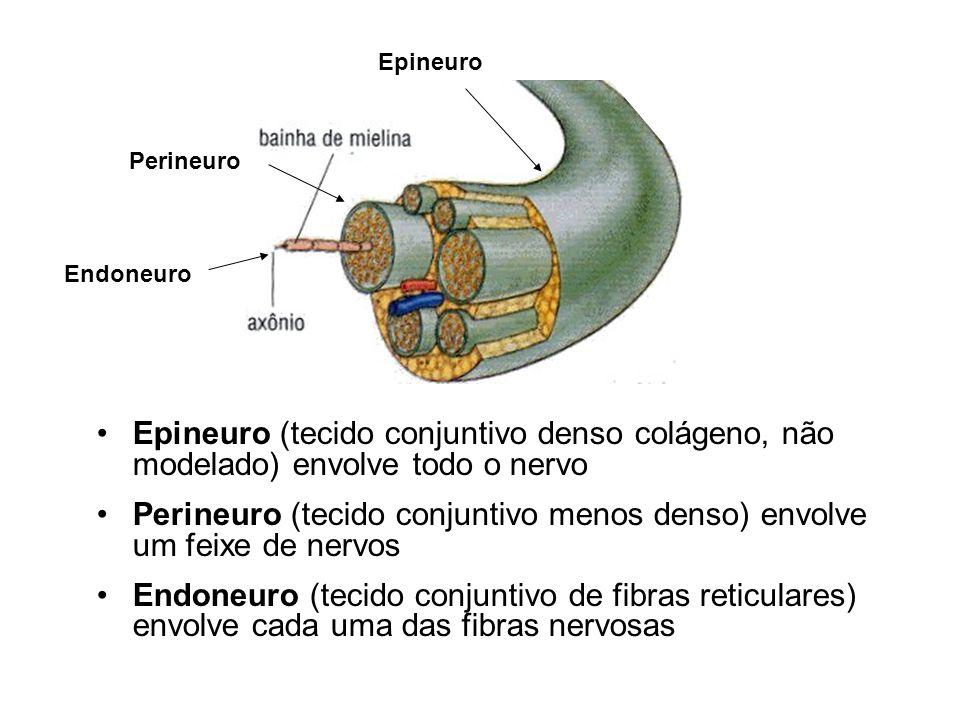 Epineuro (tecido conjuntivo denso colágeno, não modelado) envolve todo o nervo Perineuro (tecido conjuntivo menos denso) envolve um feixe de nervos Endoneuro (tecido conjuntivo de fibras reticulares) envolve cada uma das fibras nervosas Epineuro Perineuro Endoneuro