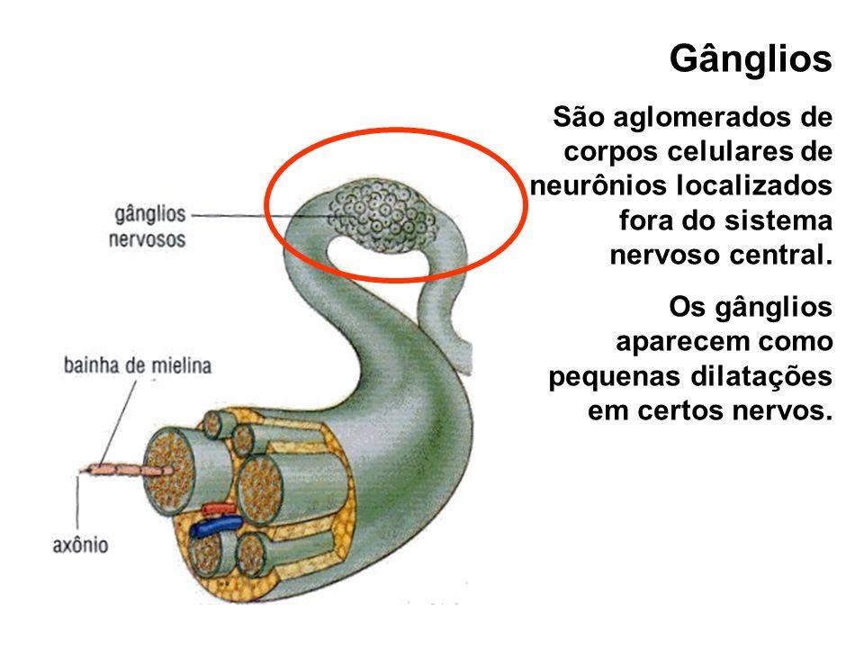 Gânglios São aglomerados de corpos celulares de neurônios localizados fora do sistema nervoso central. Os gânglios aparecem como pequenas dilatações e