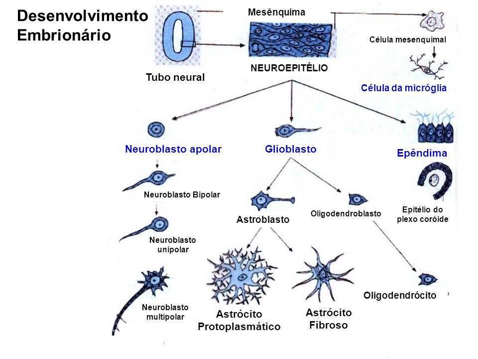 Glioblasto Tubo neural NEUROEPITÉLIO Mesênquima Célula mesenquimal Célula da micróglia Epêndima Oligodendroblasto Oligodendrócito Astroblasto Astrócito Protoplasmático Astrócito Fibroso Neuroblasto apolar Neuroblasto Bipolar Neuroblasto multipolar Neuroblasto unipolar Epitélio do plexo coróide Desenvolvimento Embrionário