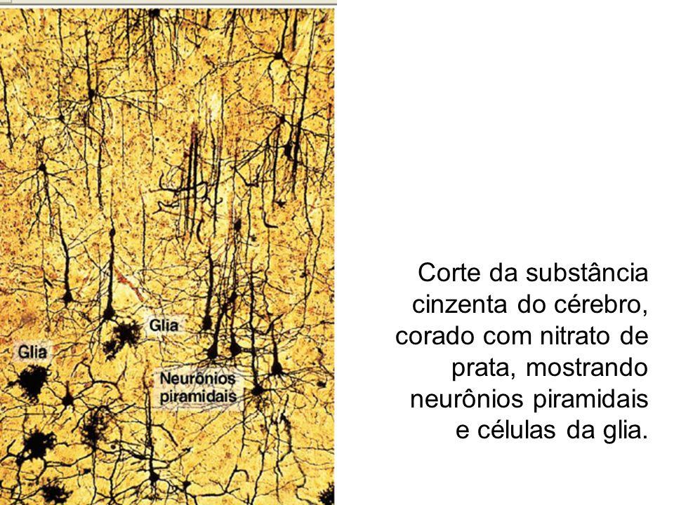 Corte da substância cinzenta do cérebro, corado com nitrato de prata, mostrando neurônios piramidais e células da glia.