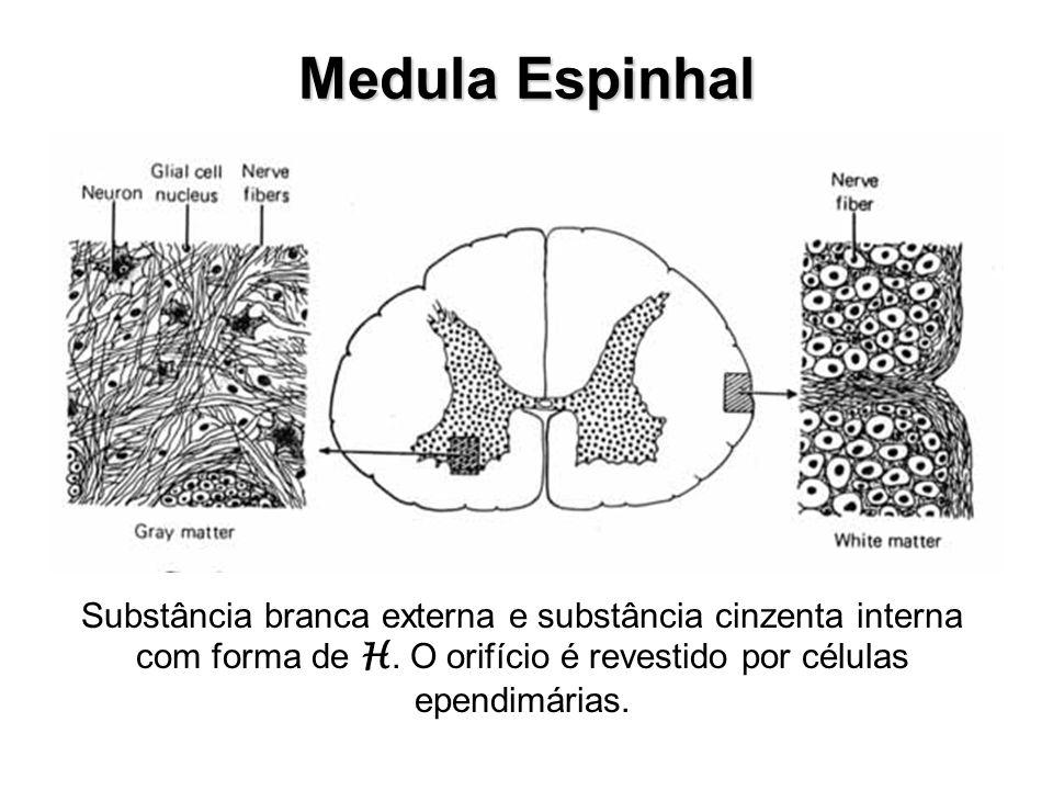 Medula Espinhal Substância branca externa e substância cinzenta interna com forma de H. O orifício é revestido por células ependimárias.