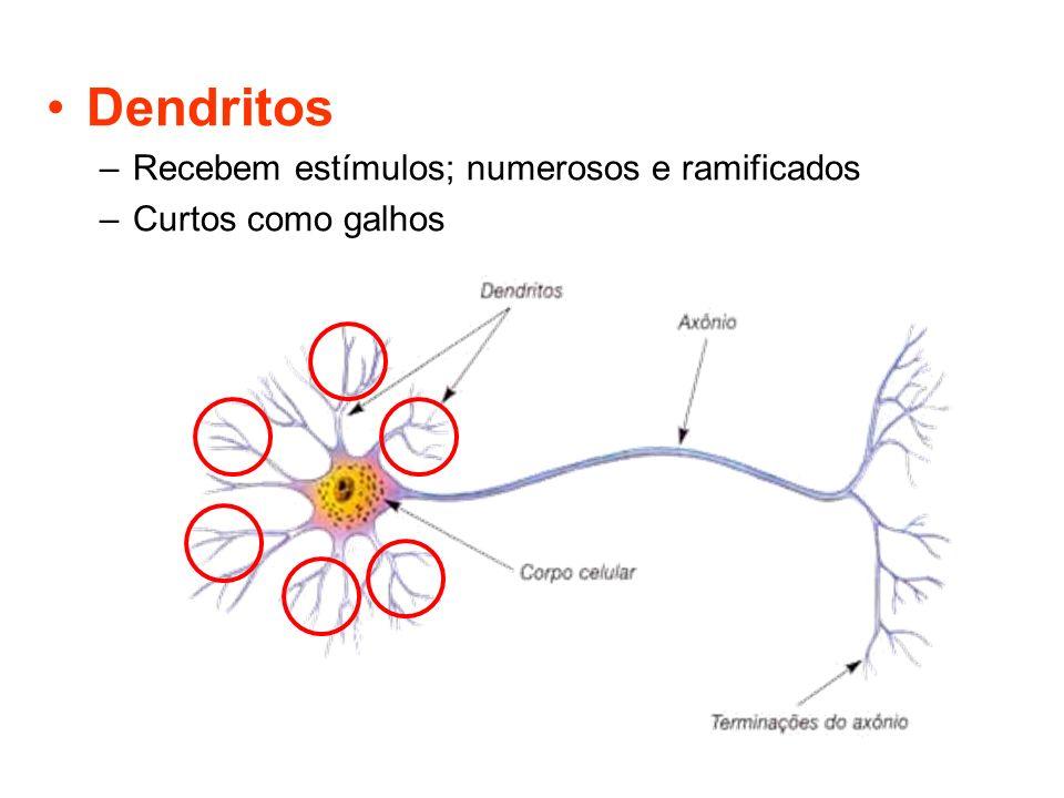 Dendritos –Recebem estímulos; numerosos e ramificados –Curtos como galhos