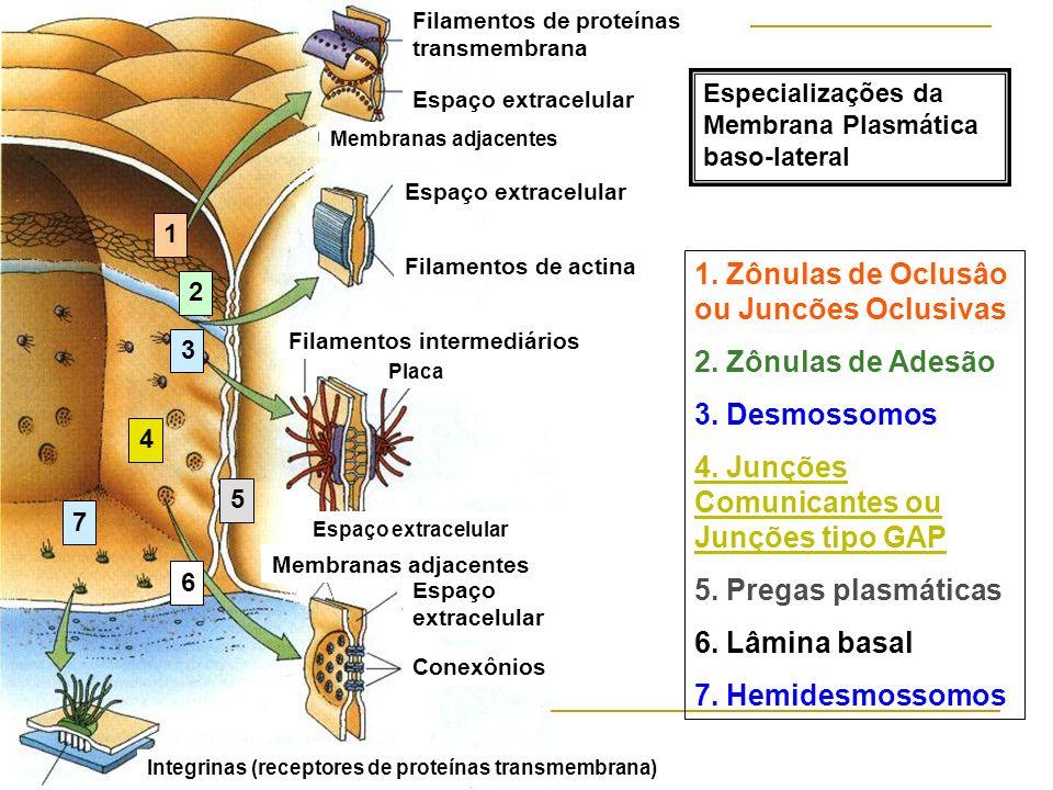 Integrinas (receptores de proteínas transmembrana) Conexônios Espaço extracelular Membranas adjacentes Espaço extracelular Filamentos intermediários F