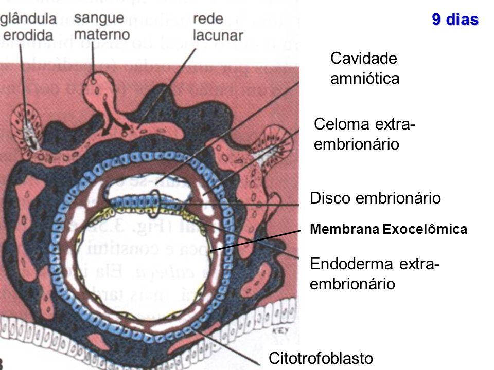 Citotrofoblasto Cavidade amniótica Celoma extra- embrionário Disco embrionário Endoderma extra- embrionário Membrana Exocelômica 9 dias