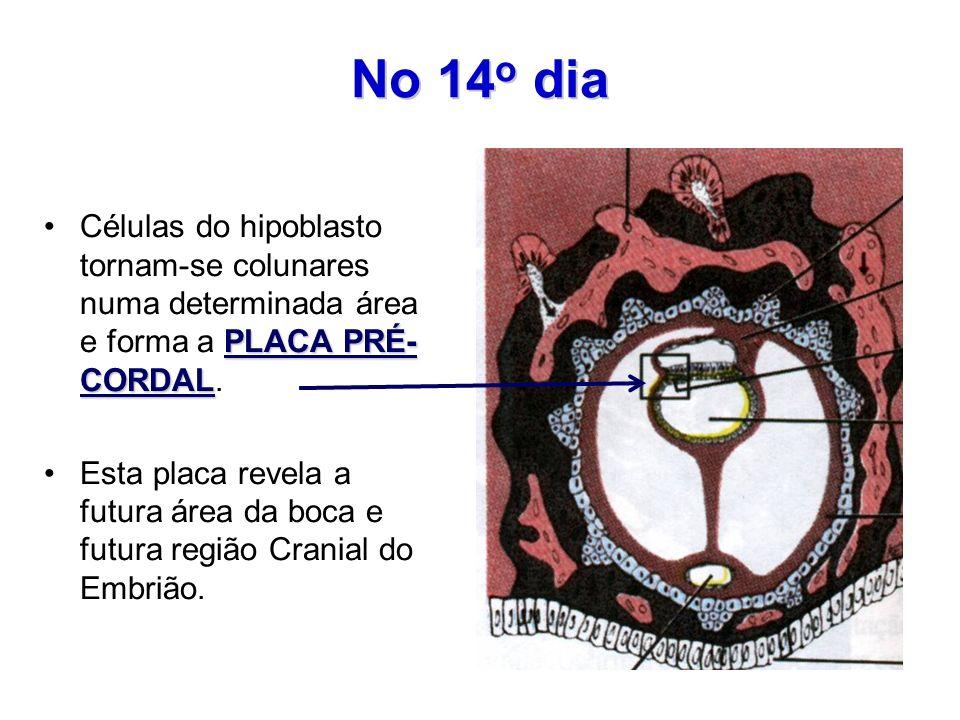 No 14 o dia PLACA PRÉ- CORDALCélulas do hipoblasto tornam-se colunares numa determinada área e forma a PLACA PRÉ- CORDAL. Esta placa revela a futura á
