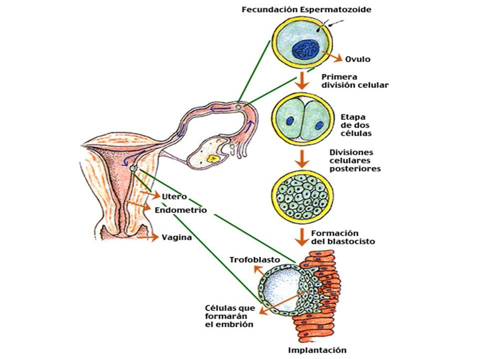 Cavidade uterina Estroma endometrial Glândula endometrial 5-6 dias Embrioblasto Massa celular interna - Embrioblasto Citotrofoblasto Hipoblasto Final da Primeira Semana Sinciciotrofoblasto