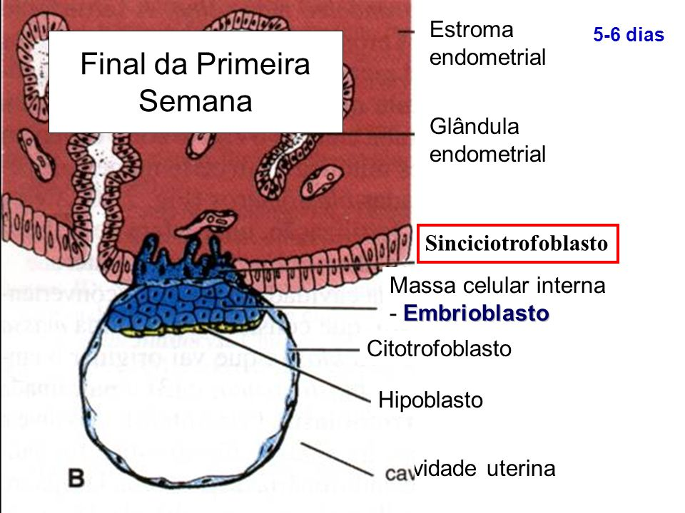 Cavidade uterina Estroma endometrial Glândula endometrial 5-6 dias Embrioblasto Massa celular interna - Embrioblasto Citotrofoblasto Hipoblasto Final