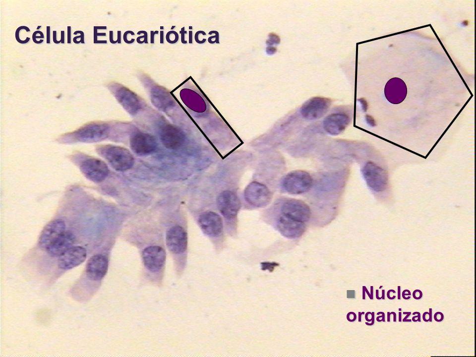 Célula Eucariótica Núcleo organizado Núcleo organizado